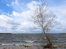 Tree on Curonian spit shore, Lithuania royalty free stock photography