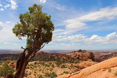 Small tree in desert landscape. A lone, wind blown tree endures another scorching summer day in Canyonlands National Park in Utah Stock Photos