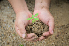 A small tree and dirt held by a human hand Royalty Free Stock Photo