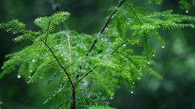 Small Tree Drips After Rainfall In Forest stock video