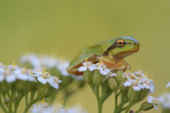 Small tree frog Hyla arborea is sitting on flower Stock Image