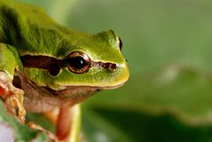 Small tree frog isolated on green background. Stock Images