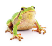 Small tree frog. Small tree frog isolated on white background Royalty Free Stock Photos