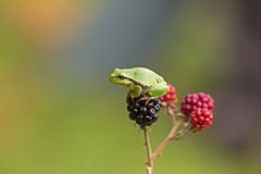 Small tree frog sitting on a blackberry Stock Photos