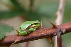 Small tree frog sitting on a branch of a thorny bramble Stock Image