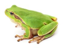 Small tree frog. Small tree frog on white background Royalty Free Stock Photos