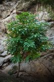 Small tree in front rock background bob. Small tree in front rock background Royalty Free Stock Photos