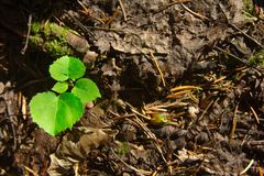 A small tree with green leaves. Self-seeding stock image