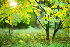 Small tree with green and yellow leaves in the sunlight Royalty Free Stock Image