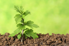 Small tree growing in the dirt Stock Photography