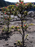 Small Tree growing in Lava field Royalty Free Stock Images