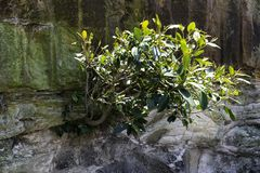 Small tree growing out of cliff face. Tree growing out from a cliff face with close up of rough cliff wall stock image