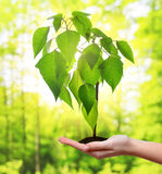 Small tree growing in woman hand. Royalty Free Stock Images