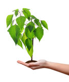 Small tree growing in woman hand Stock Photos