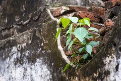 Small tree-during the growth on cement wall-vintage themes.Plant. On old wall.Thailand Royalty Free Stock Photos