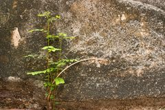 Small tree-during the growth on cement wall-vintage themes.Plant. On old wall.Thailand Royalty Free Stock Images