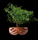 Small tree in the hands of men Royalty Free Stock Photo