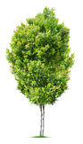 Small Tree. Isolated on white background Royalty Free Stock Photography