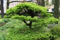 Small tree Larix sibirica royalty free stock images