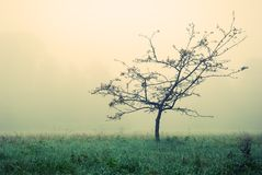 Small tree without leaves in fog Royalty Free Stock Photos
