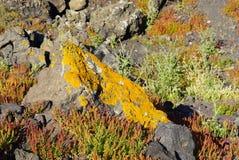 Small tree and lichen  in spring at Nea Kameni island,Santorini. Royalty Free Stock Photo