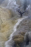 Small Tree in Mammoth Hot Springs Stock Images