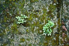 Small tree on the moss wall. A new generation of small tree on old brick wall filled with moss Royalty Free Stock Image