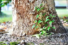 The small tree next to a big tree grows strong royalty free stock images