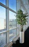 Small tree in a office next to the window Stock Image
