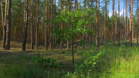 Small Tree In A Pine Forest. Little one single oak among tall trees summer stock footage