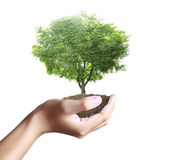 Small tree, plant in  hand Royalty Free Stock Photos