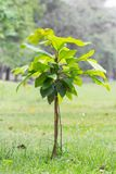 Small tree plantation Stock Image