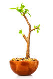 Small tree planted on a red clay pot Royalty Free Stock Photos