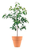 Small tree in a pot. Isolated in white background stock photography