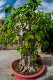 Small tree in a pot,bonsai.Vietnam Stock Photo