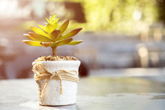 Small tree pot decoration on table with bright sunlight Royalty Free Stock Photos