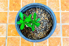 Small tree in a pot on floor. Background birth black botanical botany Royalty Free Stock Photography