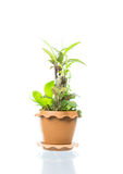 Small tree in pot isolated Royalty Free Stock Photo