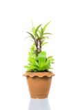 Small tree in pot isolated Royalty Free Stock Photos