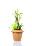 Small tree in pot isolated Stock Photos