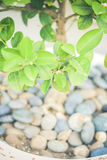 A small tree in a pot of rocks. A small green tree in a pot of rocks Royalty Free Stock Image