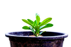 Small tree in a pot on white background Royalty Free Stock Images