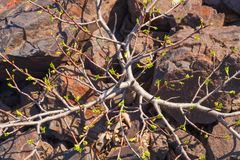 Small tree on the rock. Lonely plant. Life tree. Red stones. Natural minerals Stock Photos