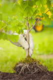 Small Tree with roots on green background Royalty Free Stock Images