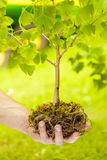 Small Tree with roots on green background Royalty Free Stock Image