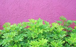 Small Tree and rough deep pink wall background.  royalty free stock image