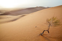 Small tree in  Sahara dunes. Stock Photos