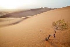 Small tree in  Sahara dunes. Stock Photos