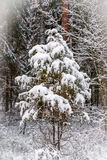 Small tree sleeping under white snow in the forest Stock Photography