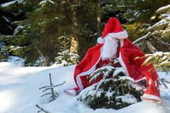 A small tree in a snowy forest is covered in Santa Claus clothes. The Santa Claus costume with beards hangs on the spruce in the winter forest. A small tree in stock images